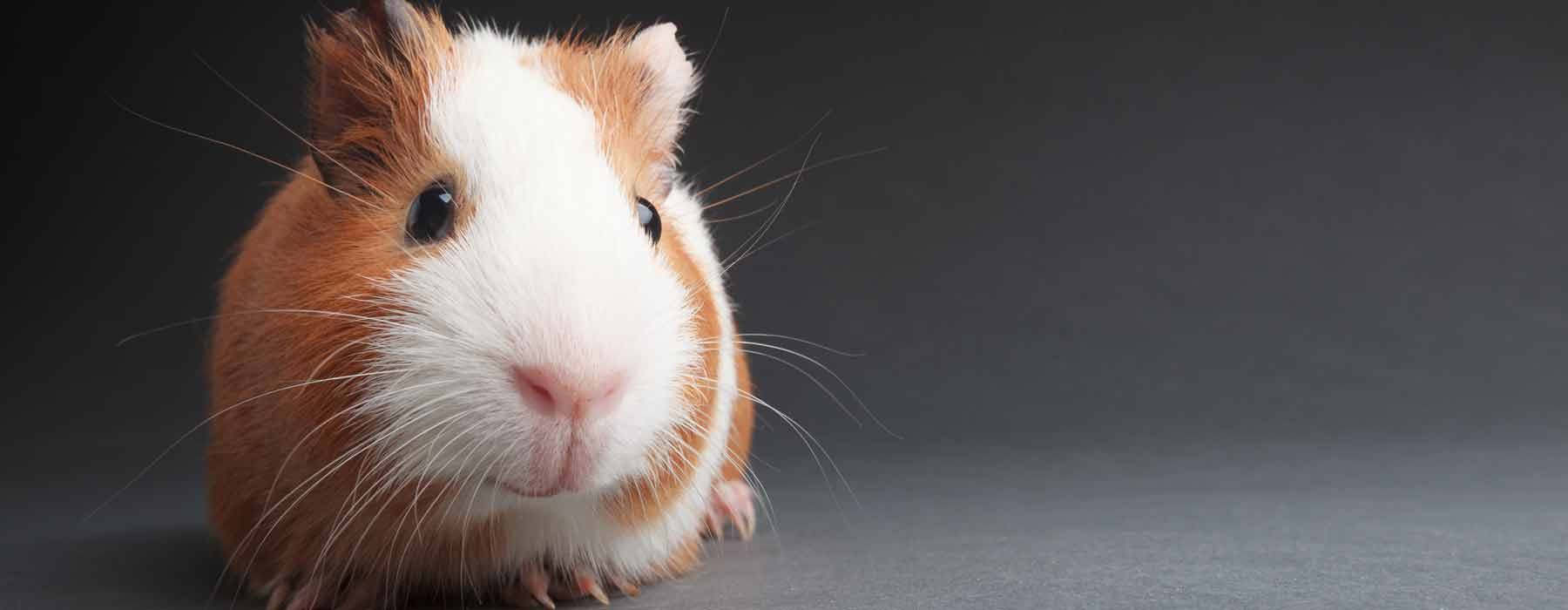 ginger and white guinea pig
