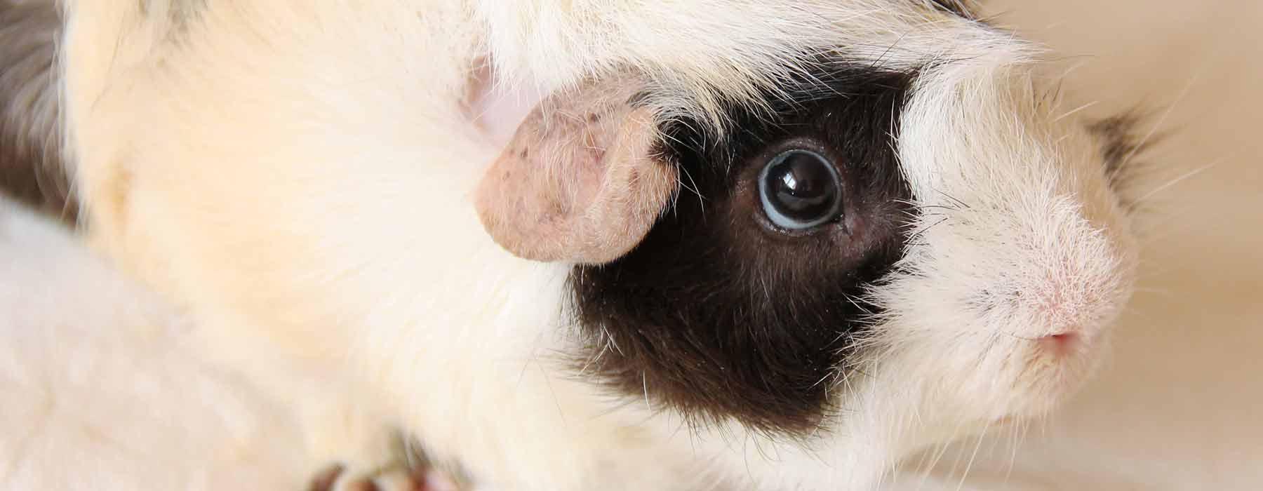 White and black guinea pig