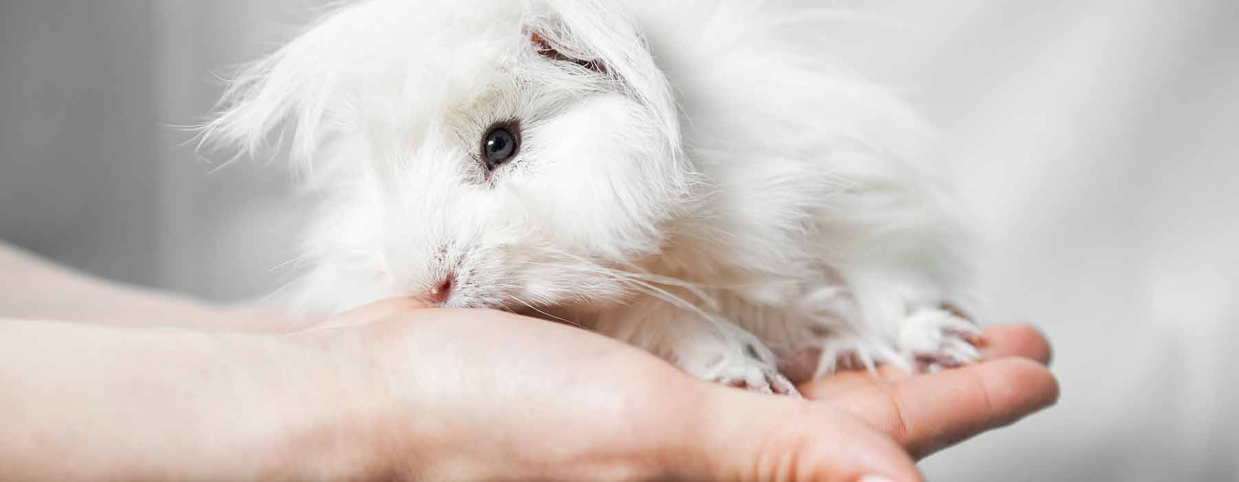 pure white guinea pig on person's hand