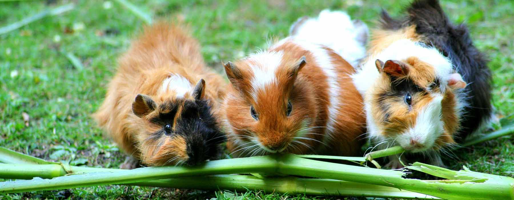 Guinea pigs outdoors on the grass, eating plants