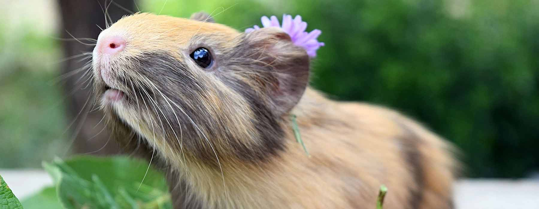 cute beige guinea pig with flower on her head