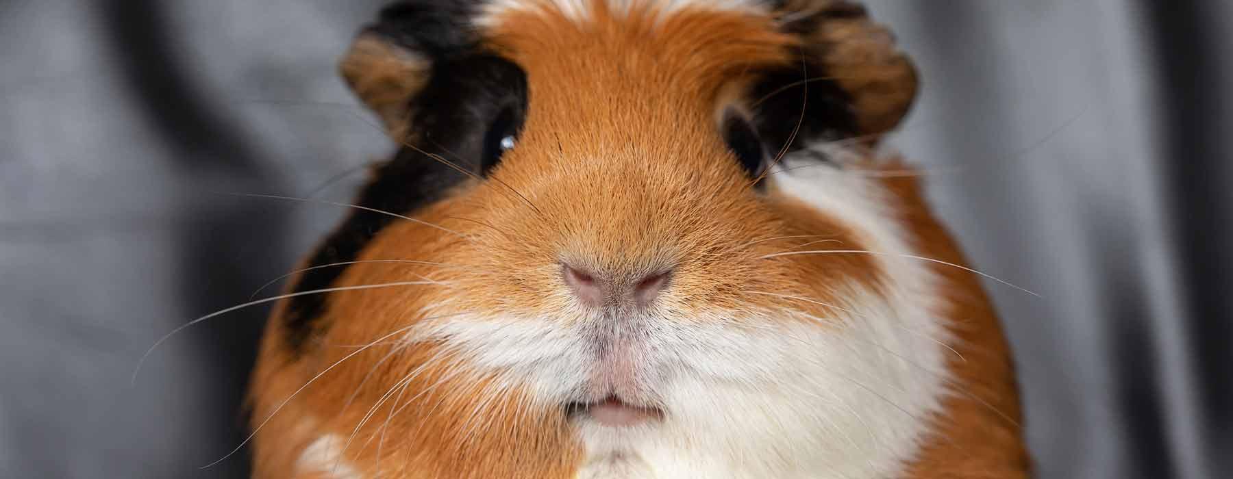 ginger, white and black short haired guinea pig