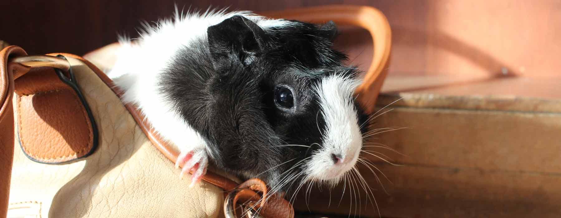 black and white guinea pig peeping out of a handbag