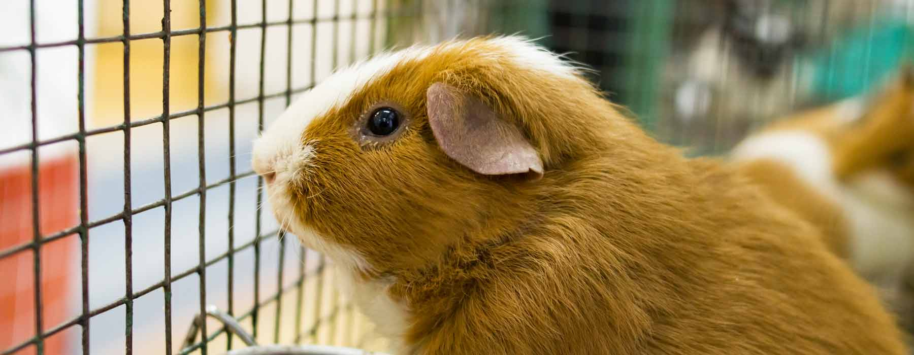 ginger and white guinea pig looking out of his cage