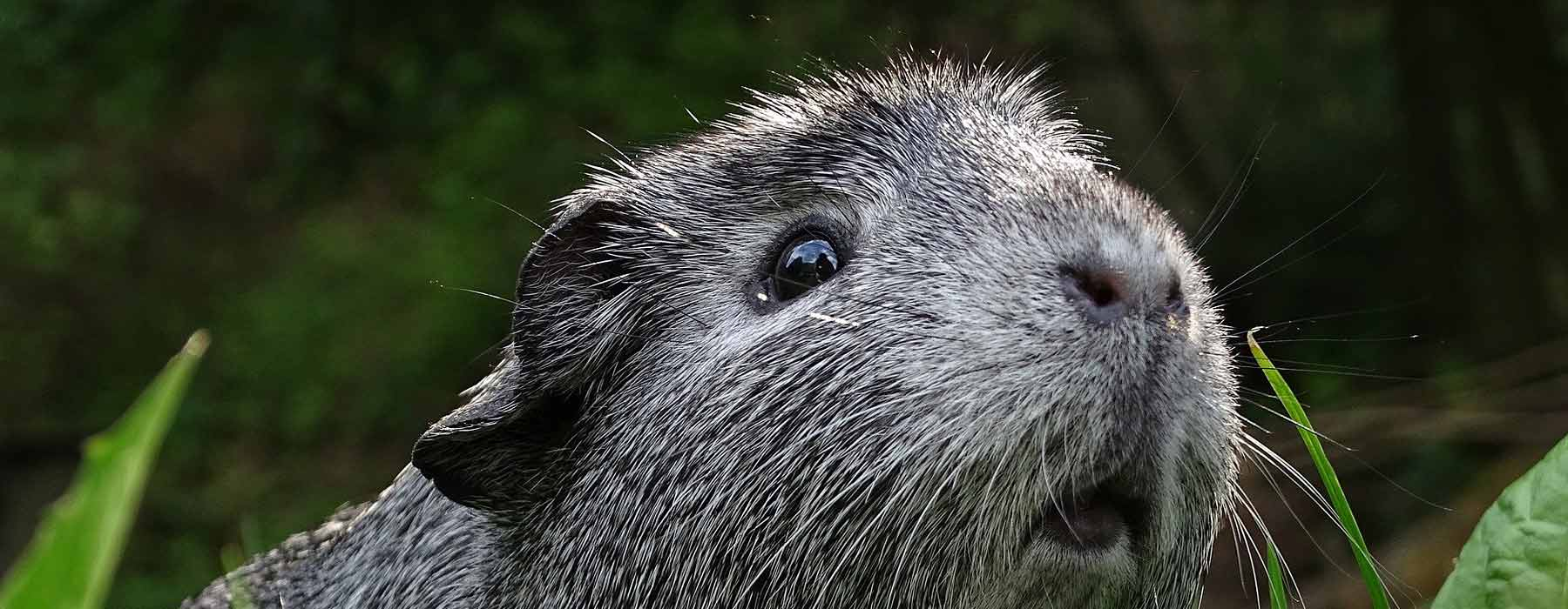 cute grey guinea pig in the outdoors