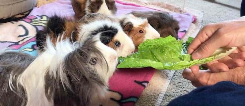 Hand feeding a lettuce leaf to guinea pigs
