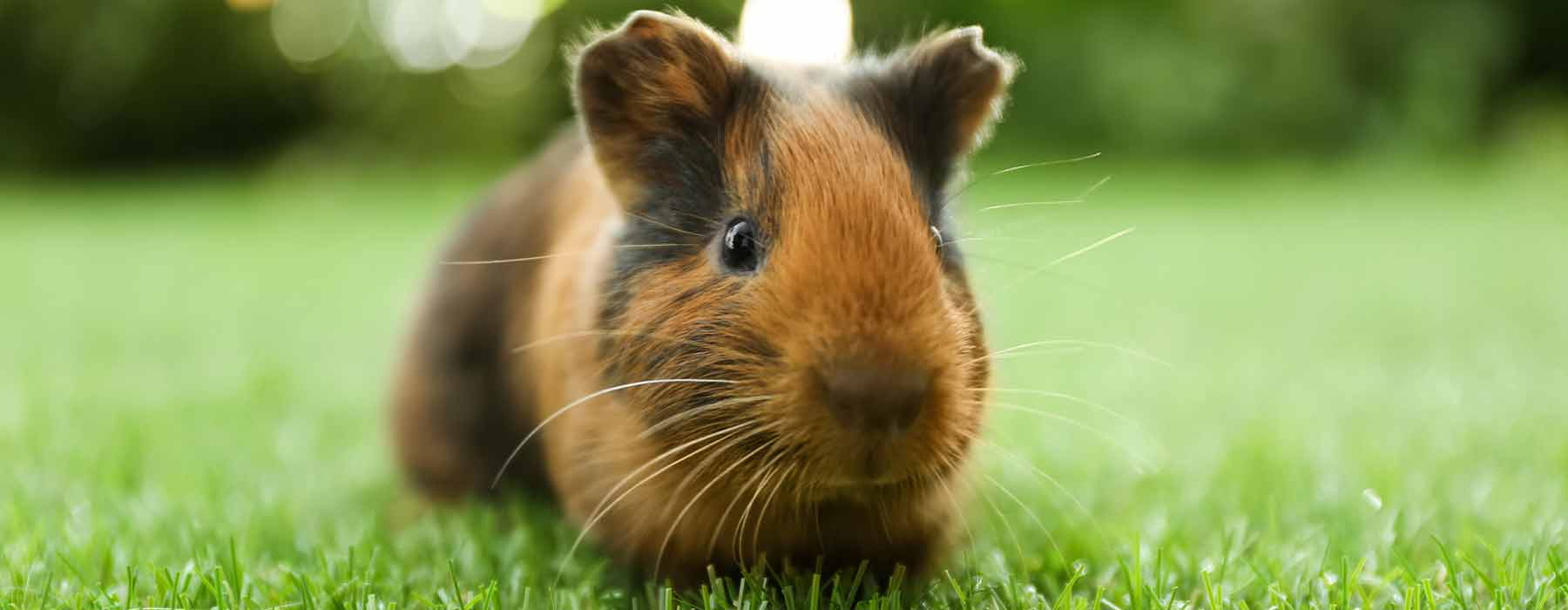 Small tan and black guinea pig on the grass outdoors