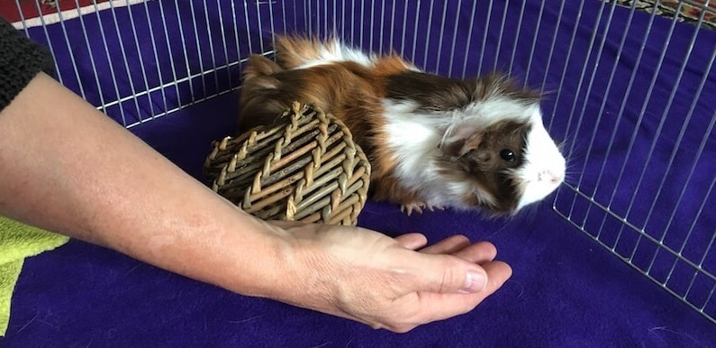 Abyssinian guinea pig about to be picked up