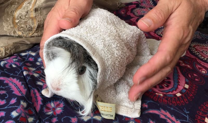 Cooling a guinea pig with a damp towel to prevent heatstroke