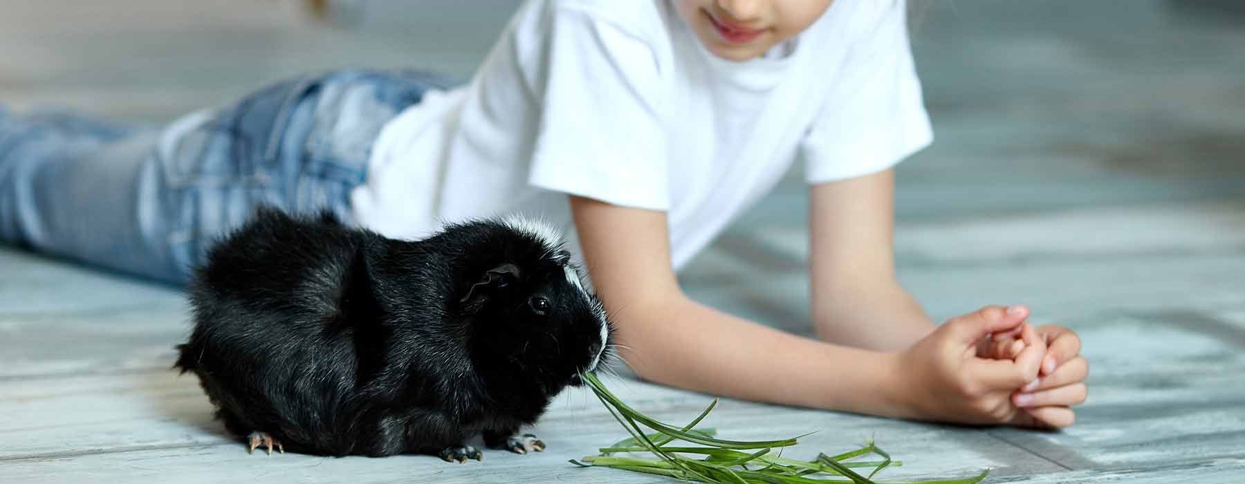 tame guinea pig eating grass next to child on the floor