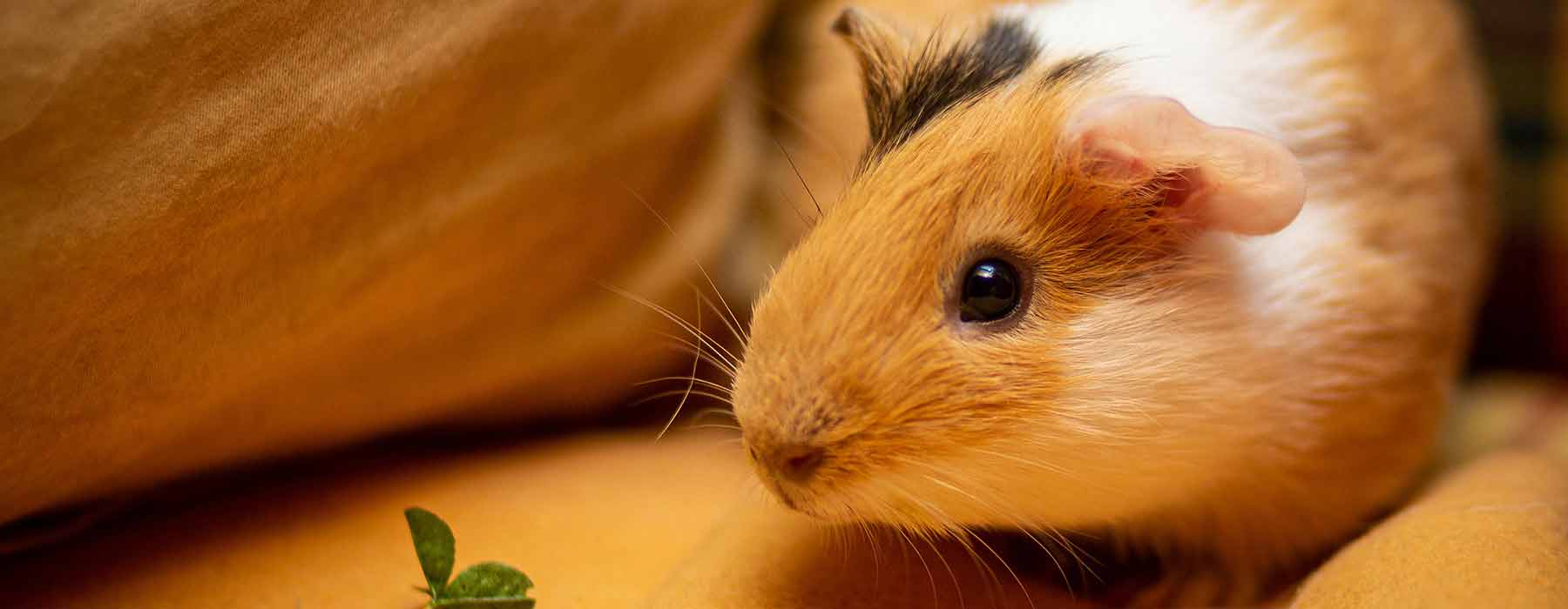small ginger and white guinea pig