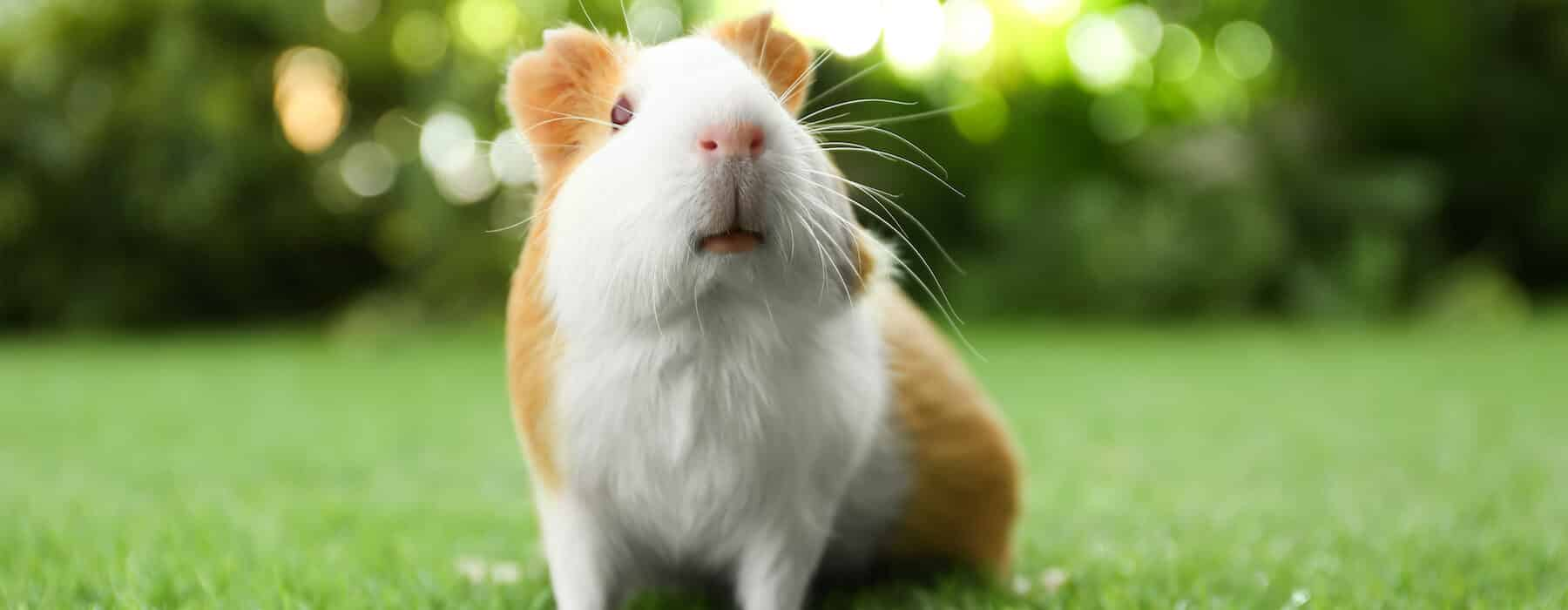Inquisitive white and ginger guinea pig sitting on the lawn