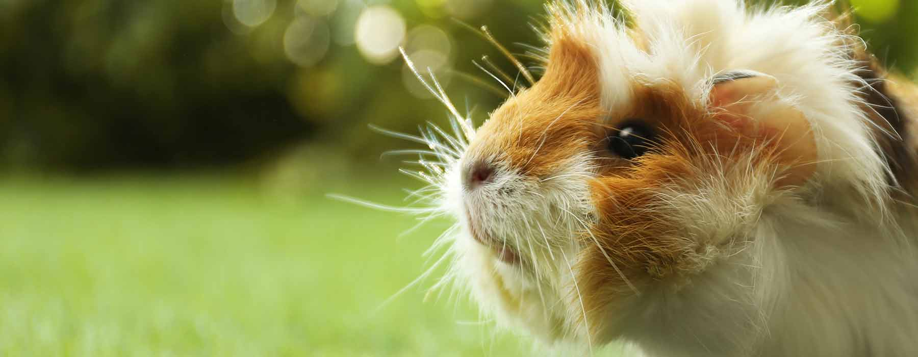 Abyssinian guinea pig outdoors on the grass