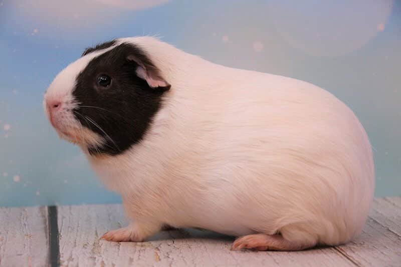 American guinea pig breed - smooth haired white guinea pig with black face