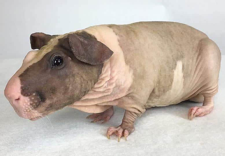 baldwin guinea pig - a hairless breed