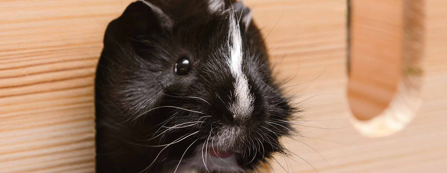 black and white guinea pig peeking out of wooden hideout