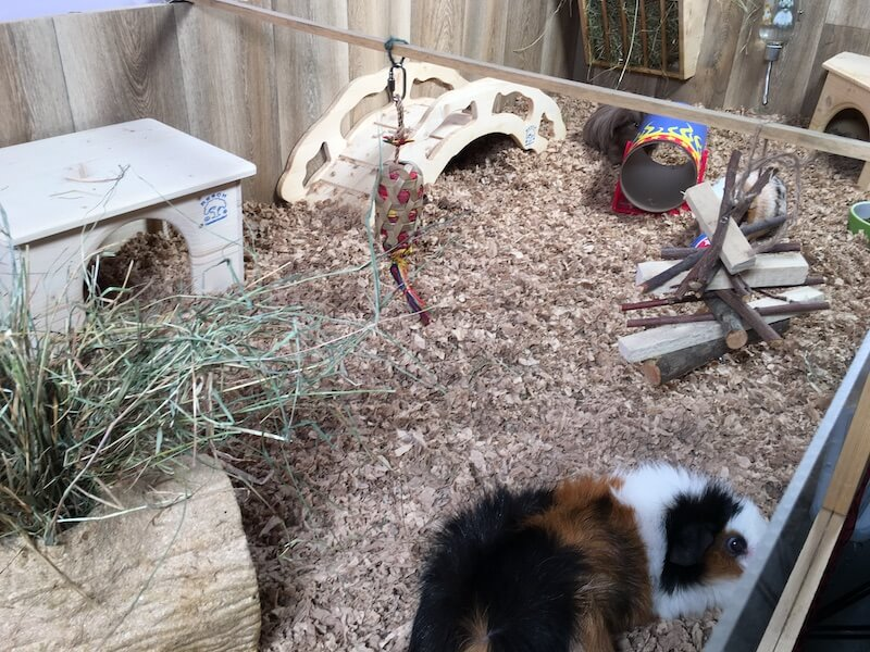 Hanging toys in a guinea pig cage