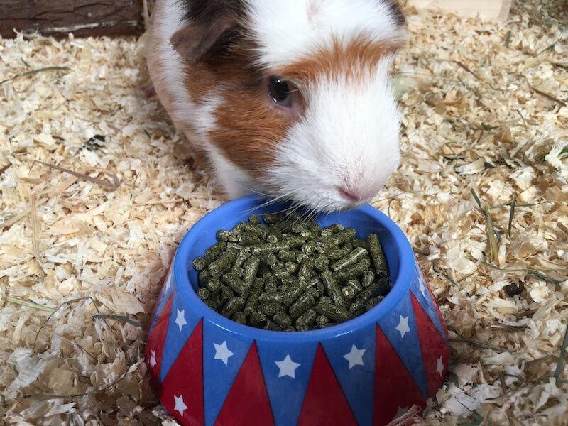 Crested guinea pig eating pellet food from a colourful food bowl