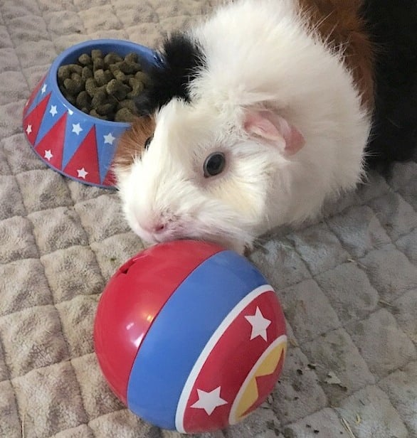 Abyssinian guinea pig playing with the Haypigs Treat Ball