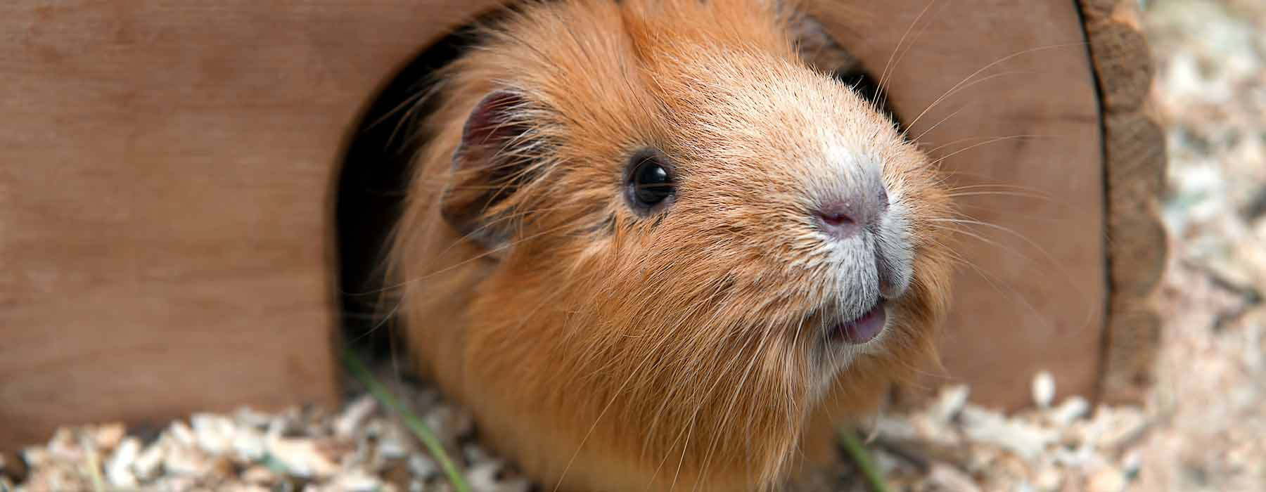 ginger guinea pig in a wooden hideout