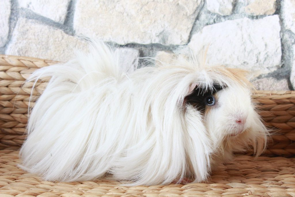 Peruvian guinea pig breed - long white hair with a little black on his face