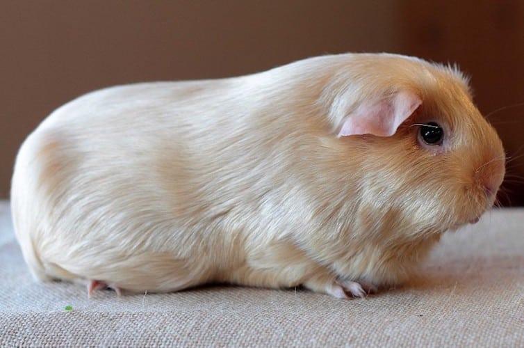 Satin guinea pig breed