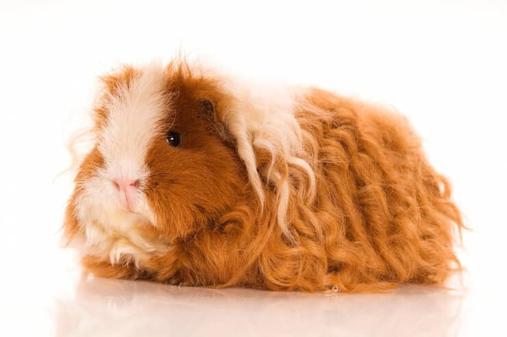 Texel guinea pig breed with long thick curly ginger and  white  hair