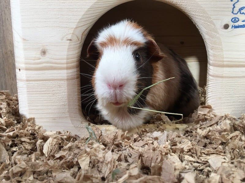 American Crested Guinea Pig  looking out of his wooden  hideout