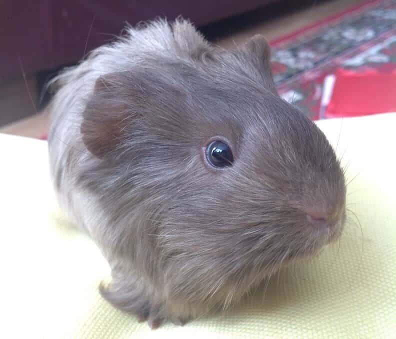 Baby Silkie guinea pig