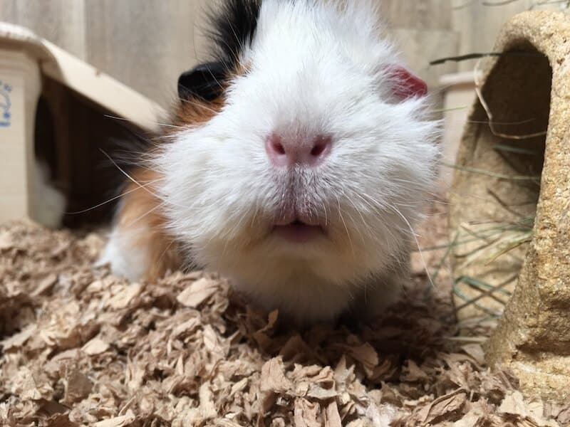 Close up of a guinea pig nose and mouth
