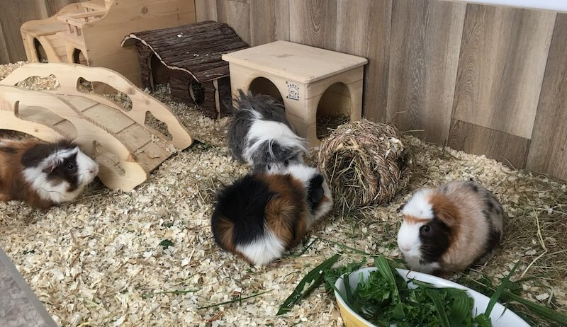 four guinea pigs in an extra large open topped indoor enclosure