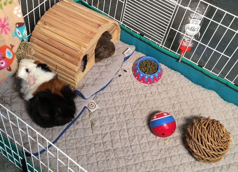 fleece liners in a guinea pig cage