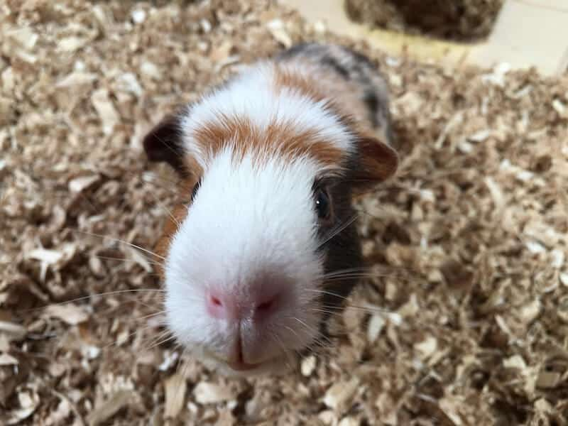 Close up of American crested guinea pig's face