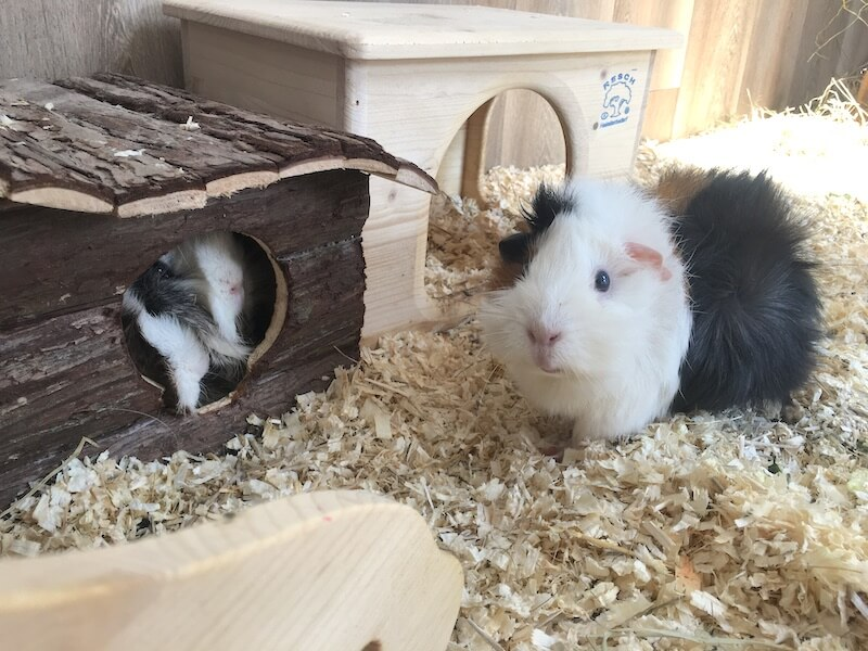Abyssinian  guinea pig  in a clean cage  and Sheba Mini Yak guinea pig in the log house hideout