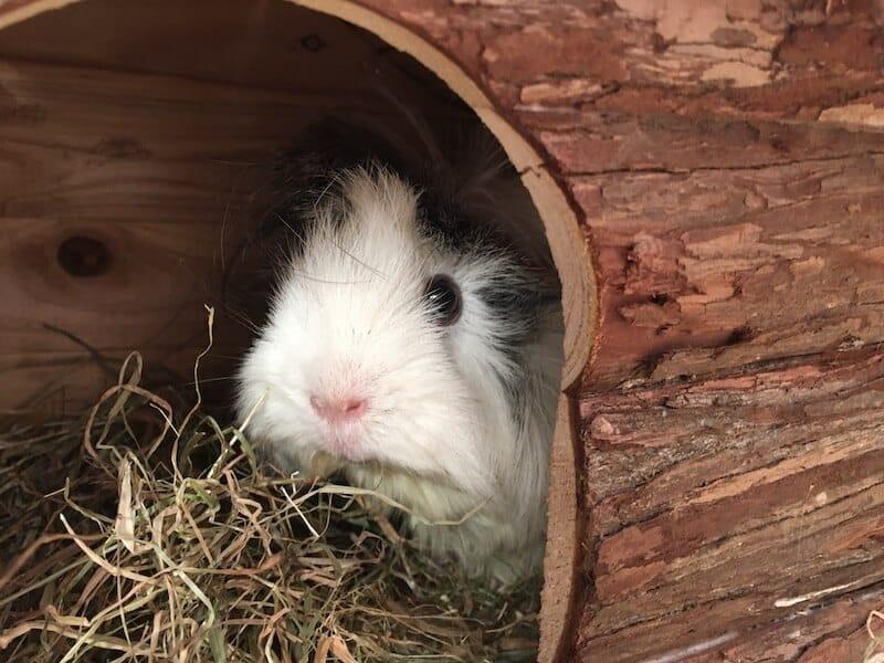 Guinea pig in a log cabin hideout