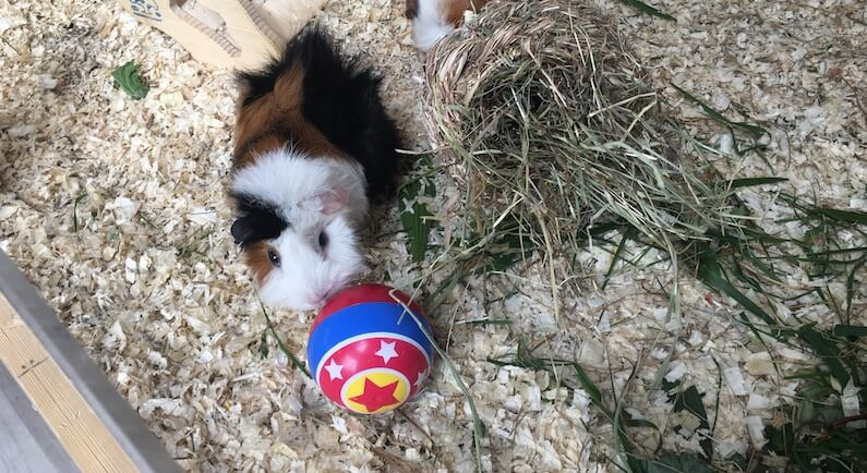 Guinea pig with a colourful treat ball