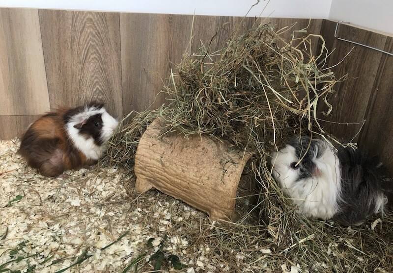 Guinea pigs eating hay from a log hay feeder