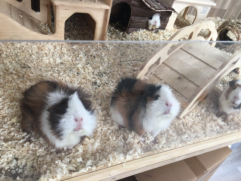 Guinea pigs looking out of their perspex fronted wooden  cage