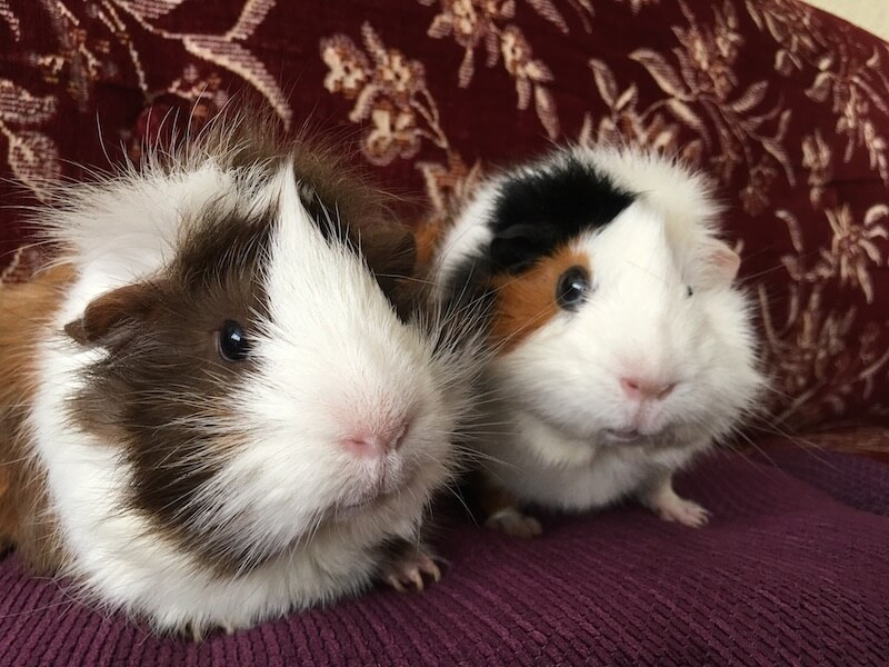 Two Abyssinian guinea pigs side by side
