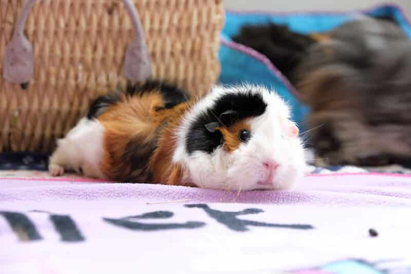 Ginger, black and white short haired Abyssinian guinea pig