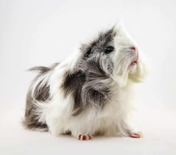 Grey and white Sheba Mini Yak or Bad Hair Day Guinea Pig
