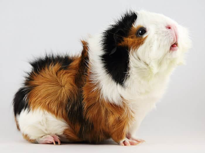 Short haired Abyssinian guinea pig