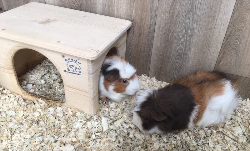 two guinea pigs, one in a wooden hideout