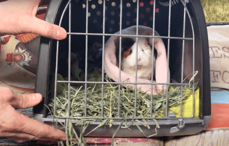 guinea pig in a pet carrier